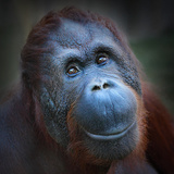 Happy Smile Of The Bornean Orangutan (Pongo Pygmaeus) Photographic Print by  Kletr