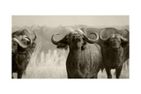 African Cape Buffalo Posters by  Donvanstaden