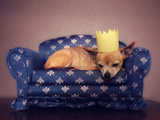 A Cute Chihuahua With A Crown On Napping On A Couch Prints by  graphicphoto
