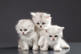White Persian Pussy Cats Over Black Background Posters by  PH.OK