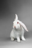 Fluffy White Rabbit Over Grey Background Photographic Print by  PH.OK