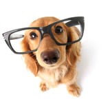 Funny Little Dachshund Wearing Glasses Distorted By Wide Angle Closeup. Focus On The Eyes Photographic Print by  Hannamariah