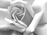Rose Petals In Black And White Photo by  mypokcik