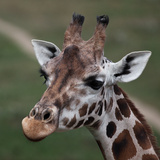 Giraffe - Close-Up Portrait Of This Beautiful African Animal Prints by  l i g h t p o e t