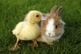 Rabbit Bunny And Duckling Are Friends Fotografisk trykk av Richard Peterson
