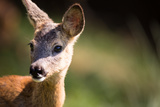 Young Roebuck (Capreolus Capreolus) Posters by  l i g h t p o e t