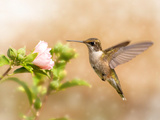 Dreamy Image Of A Young Male Hummingbird Hovering Photographic Print by Sari ONeal