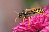Hornet On Chrysanthemum Photographic Print by  imortalcris