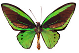 Australian Cairns Green Butterfly Isolated On White Posters