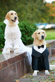Two Golden Retriever Dogs Wedding Clothing Sitting Outdoors Photographic Print by  kadmy