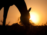 Silhouette Of A Grazing Horse Against Sunrise Prints by Sari ONeal