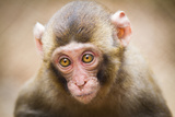 Closeup Of A Baby Japanese Macaque (Macaca Fuscata) Posters by  l i g h t p o e t
