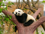 Sleeping Giant Panda Baby Photographic Print by  silver-john