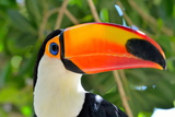 Toucan Outdoor - Ramphastos Sulphuratus Photographic Print by  mirceab