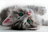 Kitten Rests - Isolated Prints by  Orhan