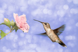 Dreamy Image Of A Hummingbird Feeding On A Pale Pink Hibiscus Flower Against Purple Background Photographic Print by Sari ONeal