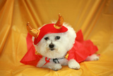Fifi The Purebred Bichon Frise Fresh From The Doggy Day Spa Tries Out Her Halloween Costumes Photographic Print by  mikeledray
