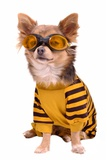 Small Chihuahua Dog Wearing Suit And Goggles Isolated On White Background Posters by  vitalytitov