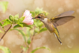 Dreamy Image Of A Young Male Hummingbird Hovering Papier Photo par Sari ONeal