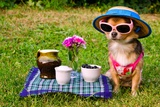 Tiny Chihuahua Dog Wearing Suit, Straw Hat And Glasses Relaxing In Meadow Prints by  vitalytitov