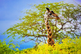 Giraffe 'S Head Standing Out From The Bush. Safari In Tsavo West, Kenya, Africa Prints by PHOTOCREO Michal Bednarek