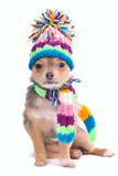 Chihuahua Puppy Dressed With Scarf And Hat, Isolated On White Background Print by  vitalytitov
