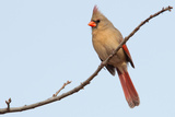 Female Northern Cardinal Perched In A Tree In Winter Photographic Print by Sari ONeal