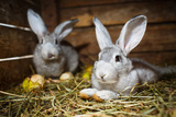 Young Rabbits In A Hutch (European Rabbit - Oryctolagus Cuniculus) Photo by  l i g h t p o e t