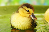 Cute Ducklings Swimming, On Bright Background Photographic Print by  Yastremska