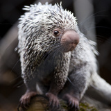 Close-Up Of A Cute Brazilian Porcupine (Coendou Prehensilis; Shallow Dof) Poster by  l i g h t p o e t
