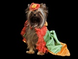 Yorkshire Terrier With Royal Dress Isolated Poster by  vitalytitov