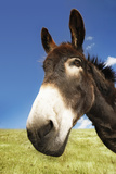 Closeup Of A Donkey In Field Against Blue Sky Photographic Print by  Nosnibor137