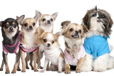 Group Of Dogs Dressed-Up : 5 Chihuahuas And A Shih Tzu Print by  Life on White