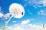 Ladybug On A Dandelion On A Background Of The Sky Photographic Print by  Miramiska