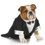 English Bulldog Wearing Black Tuxedo And Tails On White Background Photographic Print by Willee Cole