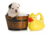 Puppy Bath Time - English Bulldog Puppy In Wooden Wash Basin With Soap Suds And Rubber Duck Posters by Willee Cole