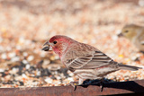 Male House Finch Eating Seeds At A Feeding Station In Winter Prints by Sari ONeal