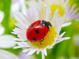 Ladybug Sits On A Flower Petal Prints by  Ale-ks