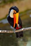 Toucan Outdoor - Ramphastos Sulphuratus Posters by geanina bechea
