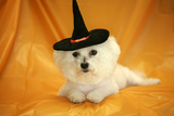 Fifi The Purebred Bichon Frise Fresh From The Doggy Day Spa Tries Out Her Halloween Costumes Prints by  mikeledray