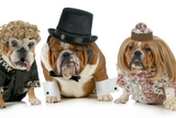 Males Bulldog With Two Females All Dressed In Formal Clothing Isolated On White Background Photographic Print by Willee Cole