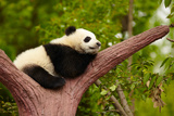 Sleeping Giant Panda Baby Posters by  silver-john