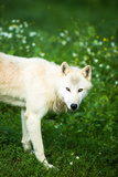 Arctic Wolf (Canis Lupus Arctos) Aka Polar Wolf Or White Wolf Posters by  l i g h t p o e t