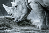 White Rhino In Black And White Eating Fotografisk tryk af  goinyk