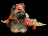 Yorkshire Terrier With Royal Dress Isolated Print by  vitalytitov
