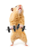 Hamster With Bar Isolated On White Reproduction photographique par  IgorKovalchuk