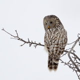 Ural Owl In Natural Habitat (Strix Uralensis) Photographic Print by geanina bechea
