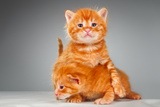 Two Funny Playful Little Red Hair Kittens Playing With Each Other Posters by  PH.OK