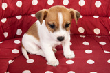 Red Spotted Pet Bed With Little Jack Russel Puppy Posters by  Ivonnewierink