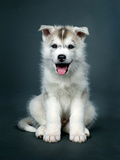Puppy Of Siberian Husky Posters by  ingret